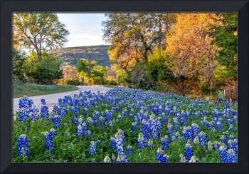 Bluebonnets in the Texas Hil Country