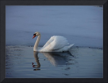 SWAN IN ICY WATER