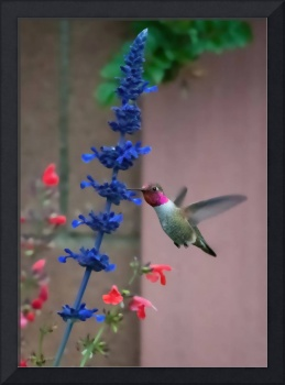 Anna's Hummingbird Feasting at Blue Salvia