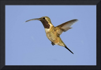 Lucifer Hummingbird Photograph