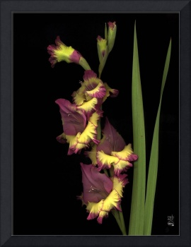 Graceful Ribbon Gladiola