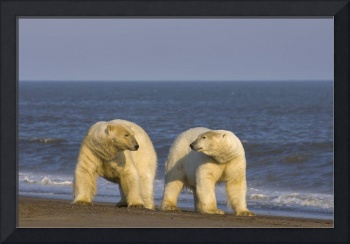 Two polar bears males wait on a barrier island for