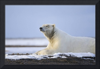 Adult Polar Bear Rests Along Shoreline Of A Barrie