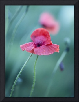 red poppy with drops