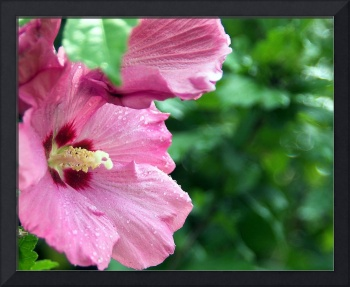 Rose of Sharon after the Rain