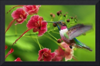 Humming Bird Gathers Nectar