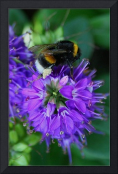 Bumble Bee -At work