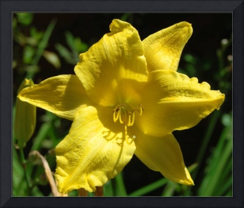 Lemon Yellow Lily
