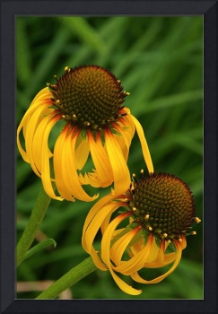 Ozark Yellow Coneflower