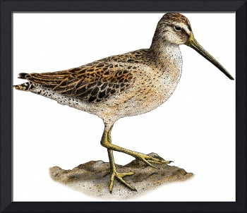 Short-Billed Dowitcher