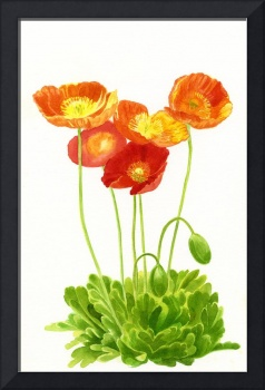 orange poppies with buds on white cloned for parti