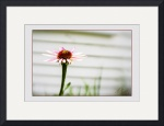 Cone-flower-against-off-white-background by D. Brent Walton