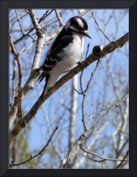 Downy Woodpecker on a Branch