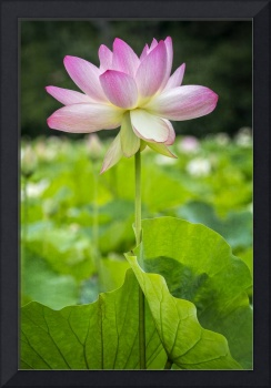 Lotus Lily Flower in Bright Sunshine