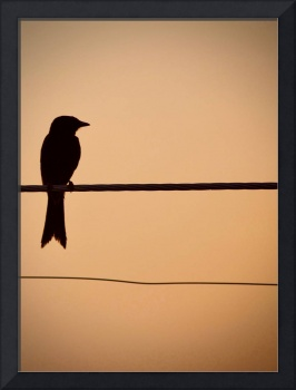 Drongo on a wire