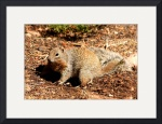 Kaibab Squirrel by Jacque Alameddine