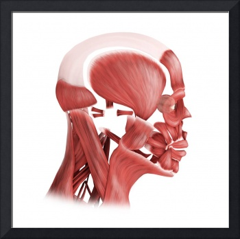 Medical illustration of male facial muscles, side