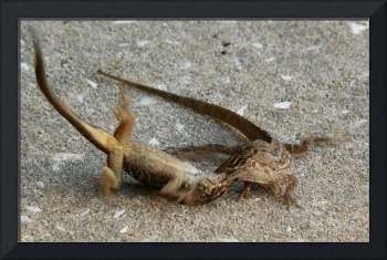 Lizards Fighting