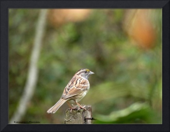 Yellow Cheeked Sparrow