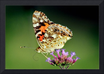 American Painted Lady Butterfly on Green 2014