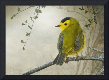 early spring wilson's warbler