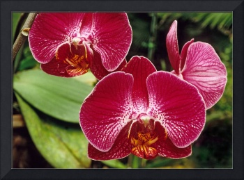 Red Orchid Phal Flower