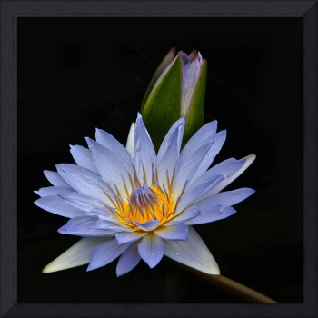 Waterlily Flower And Bud