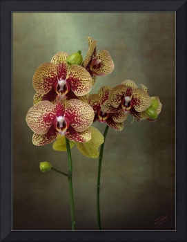 Timeless Orchid
