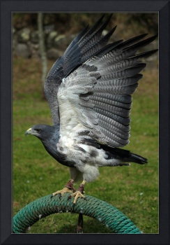 Buzzard Eagle With Flapping Wings
