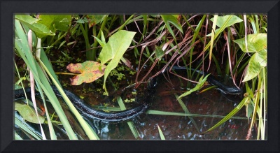 Black Rat Snake Elusive Animal Photo by Ginette