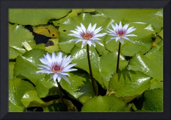 Cayman Islands Lily Pond