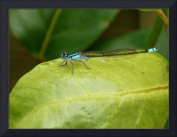 dragon fly blue on leaf