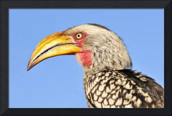 WCC_1900- Yellow-billed Hornbill Portrait