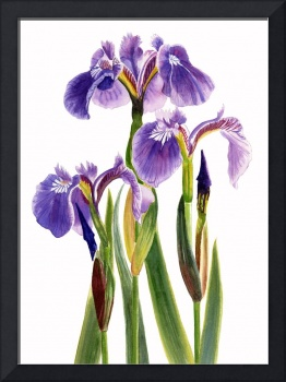 Three Wild Irises on White