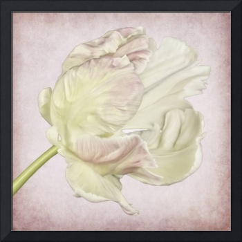 White and pink parrot tulip