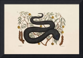 Mark Catesby~The Black Viper, The Natural History