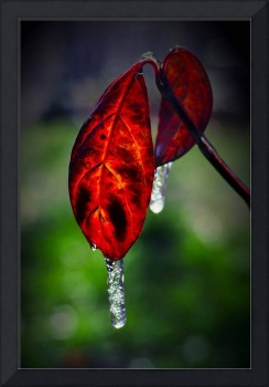 Icy Red Dogwood