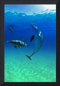 Atlantic Spotted Dolphins In The Bahamas