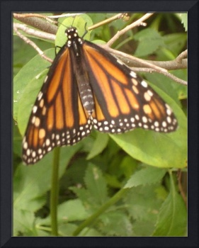 Monarch on Green