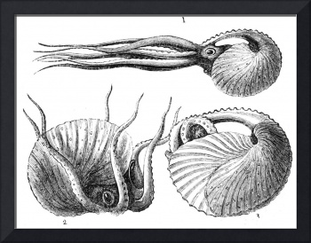 Vintage Natural History Mollusca Illustration