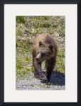 _MG_2862.Togwotee.Grizzly1 by Sam Sherman