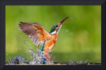 Kingfisher Bird Rising From the Water