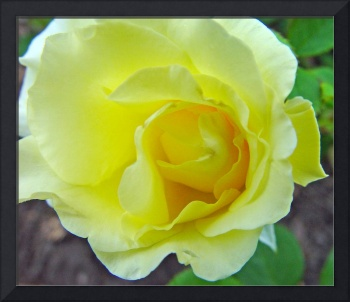 Yellow Rose Off Center