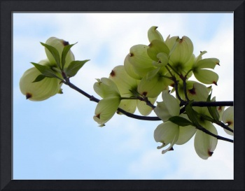 Dogwoods Looking Up