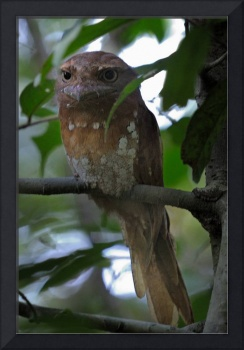 Sri Lanka Frogmouth head on