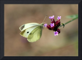 Butterfly  Cabbage White on brown