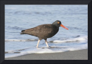 Black Oystercatcher Photograph