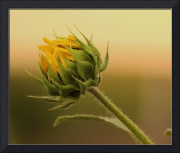 Jacques's Sunflower Bud