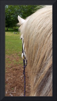 Waiting to Go ~ Icelandic horse