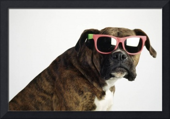 Boxer Wearing Sunglasses